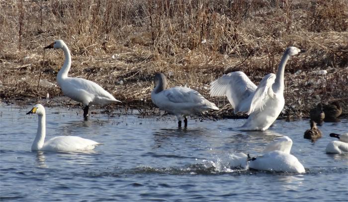信州 安曇野 白鳥湖