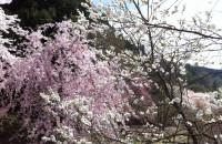阿智村 園原の里で花桃