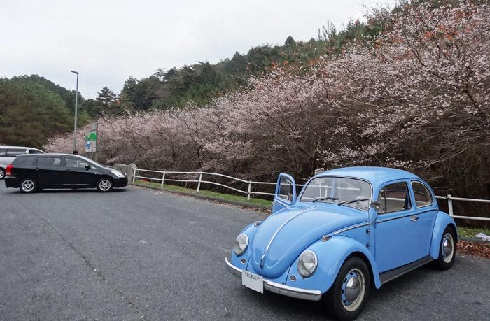 小原村の四季桜