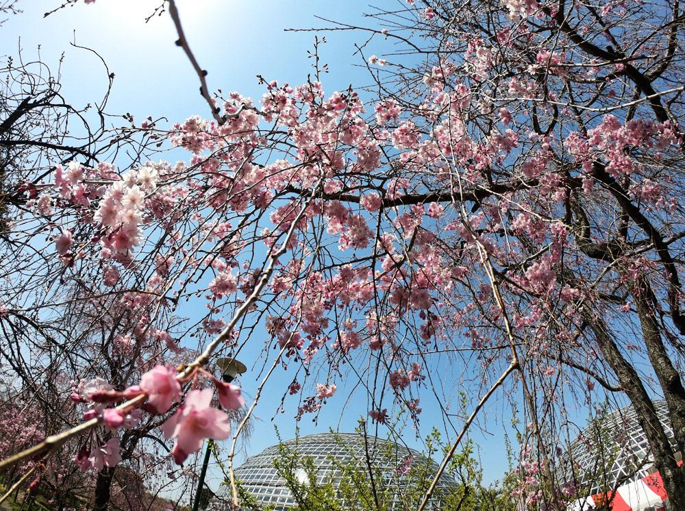 東谷山フルーツパーク 枝垂桜