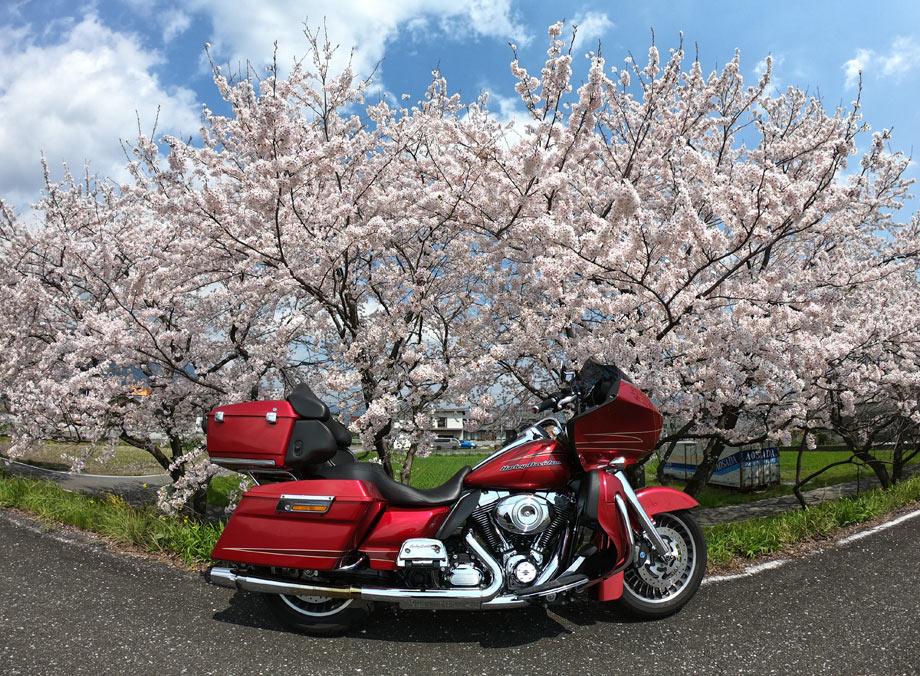 粕川桜並木